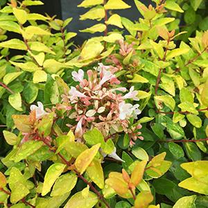 Abelia X Grandiflora Canyon Creek