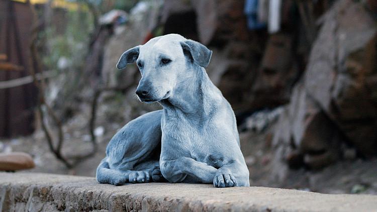 Resuelven el misterio de los perros azules de la India (VIDEO)
