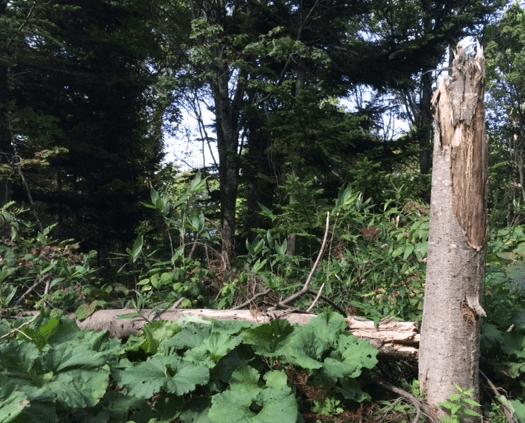 落雷で折れた木