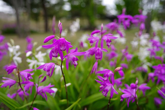 Можно ли найти лекарство от рака в орхидеях?