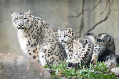 snow-leopard-state-animal-of-himachal