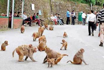 monkey-menance-in-himachal-shimla