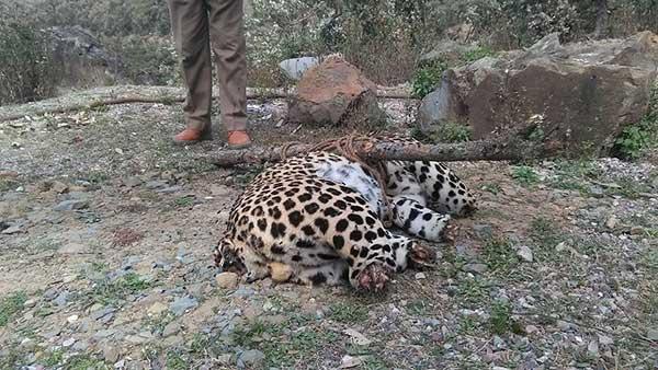 leopard-body-ropri-kalahru