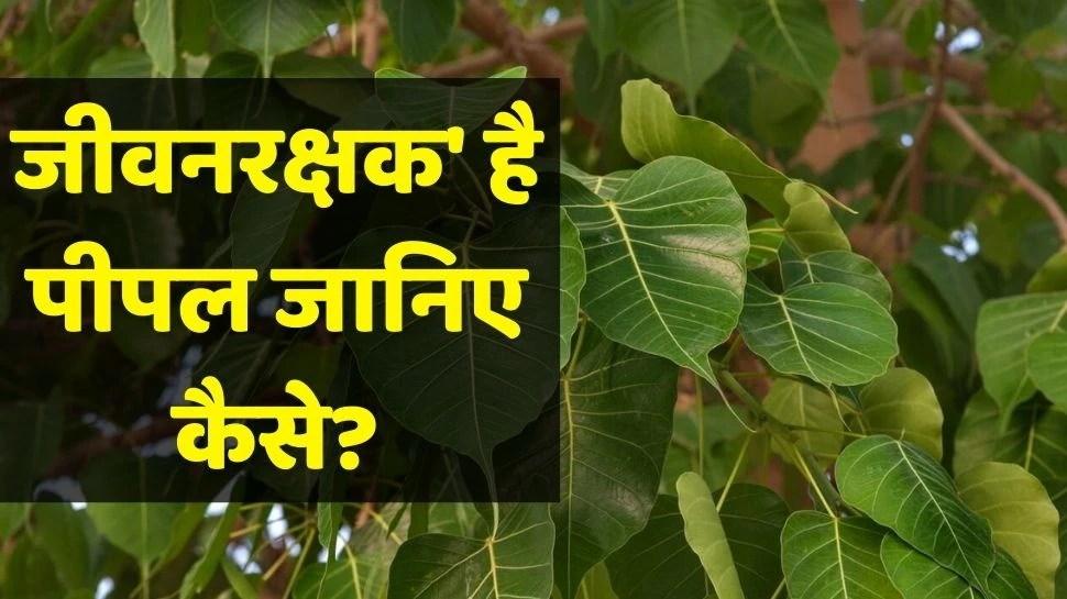 Peepal Leaf Benefits: अस्थमा से हार्ट हेल्थ तक, पीपल के पत्तों का रस है कई तरह से फायदेमंद