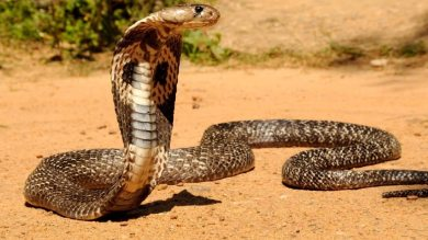 Serpent's wait!  Sting killed after finding 2 people who killed the snake, died in agony