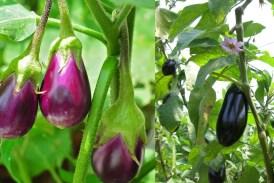 brinjal leaves: किडनी, मधुमेह समेत इस बीमारी में बेहद लाभकारी हैं बैंगन के पत्ते, बस इस तरह करना होगा सेवन