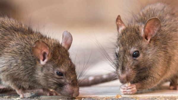 लाश को चूहों ने खाया