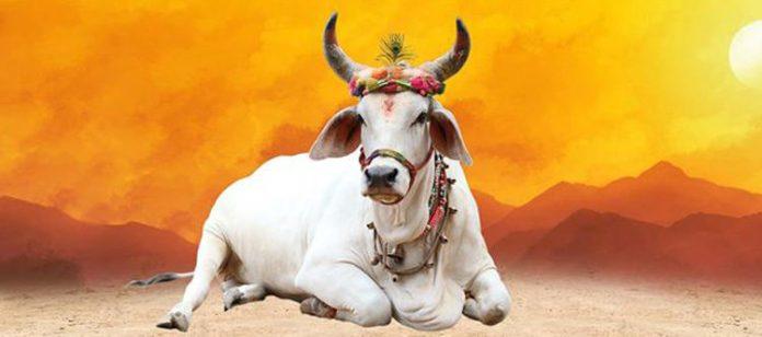 गोवंश, देसी गाय को बचाएँ