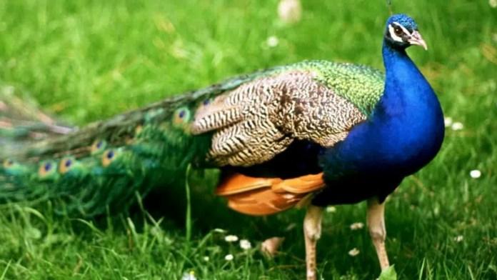 भारत का राष्ट्रीय पक्षी मोर