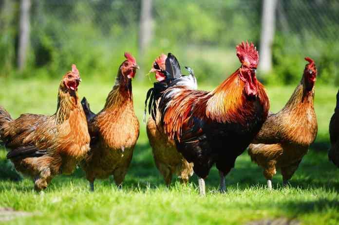 मुर्गियों को दिया ज़हर