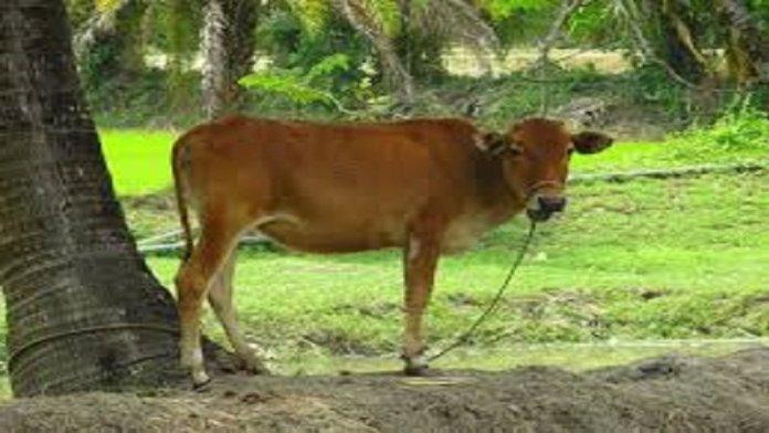 गाय पर हिंसा (सांकेतिक चित्र)