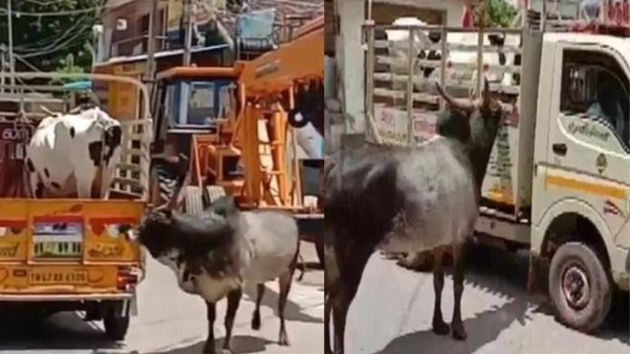 गाय सांड Viral video