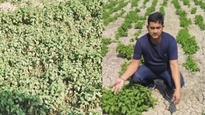बिहार, हॉपशूट्स खेती