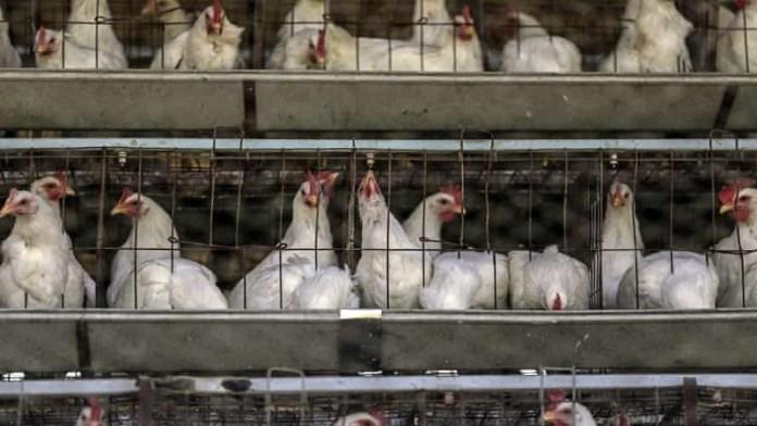 मुर्गियों ने अंडे देने किए बंद