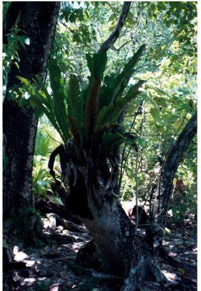 एक पोषित करने वाली शाखा से बरगद का वृक्ष वृद्धि करता हुआ। शीघ्र ही इसकी और अधिक शाखाएँ और जड़ें फूट निकलेंगी।