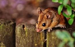 Photo of चूहे भगाने के घरेलू उपाय