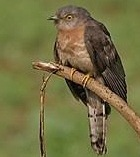 Common Hawk Cuckoo bird