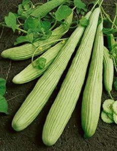 Cucumis Utilissimus long cucumber