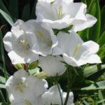 Siroi Lily