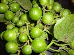 gunda vegetable