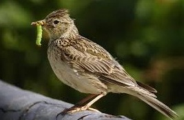 lark bird