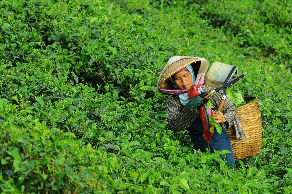 India is one of the largest tea producers tea in India chai चाय