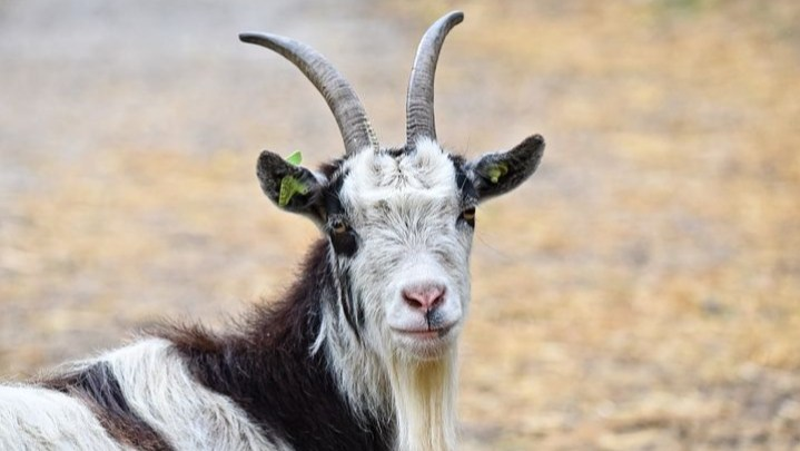 Read more about the article बकरी के दूध के फायदे(About goat meaning in hindi)