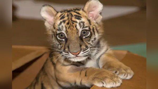 इस कपल ने 5 लाख में घर पर एक बिल्ली लाया, बाद में पता चला की वह बाघ....