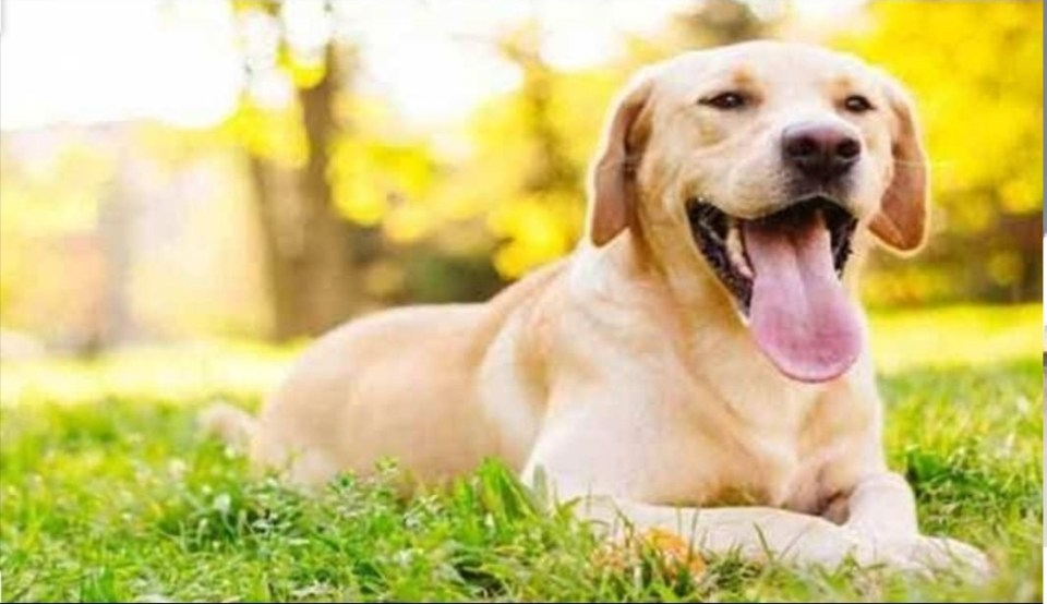 मालिक से मिलने के लिए कुत्ते ने तय किया 100 किमी का सफर