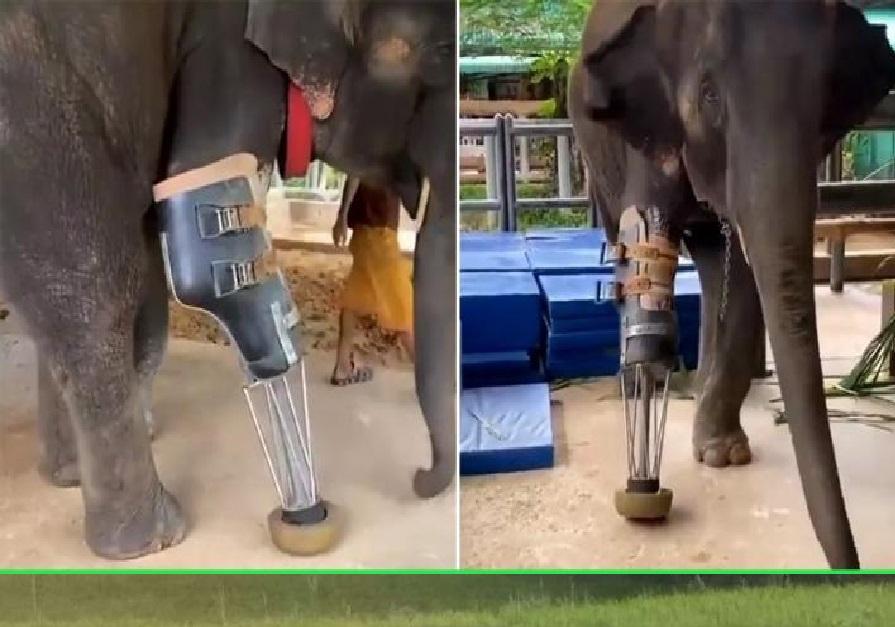 पैर कट जाने पर आर्टिफिशियल पैर से चला हाथी, वीडियो हुआ वायरल