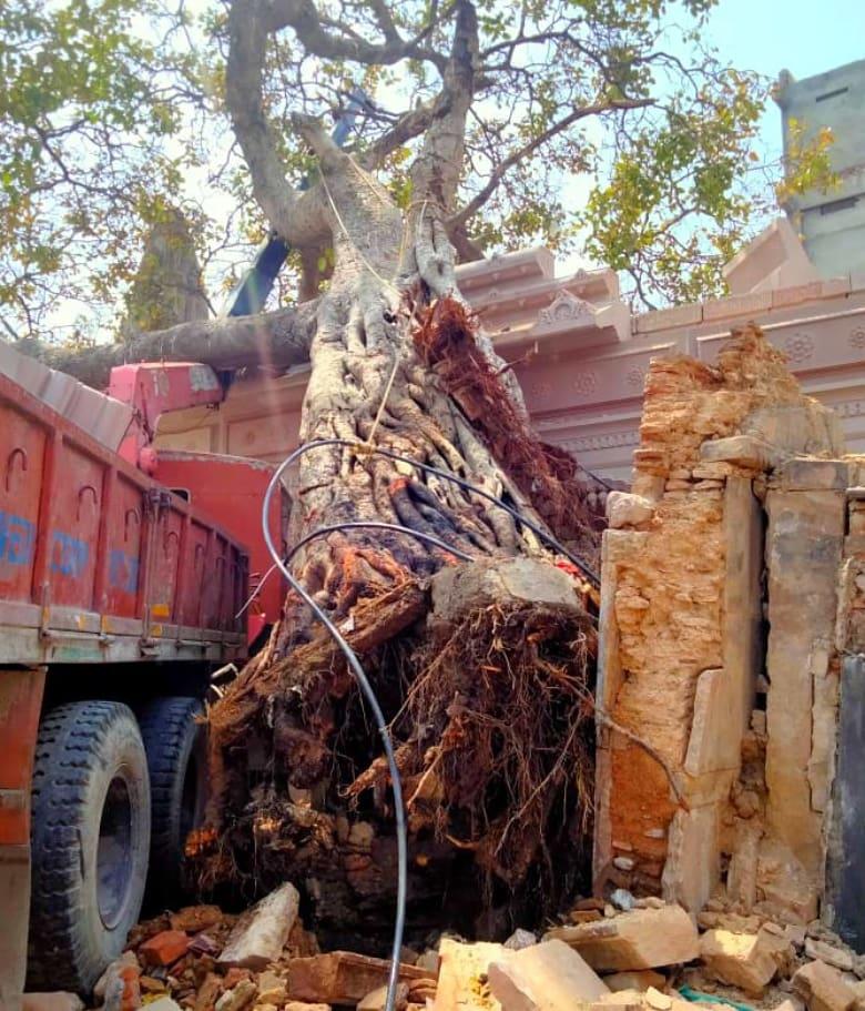 Uprooted Akshay Vat Tree