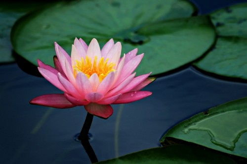 The significance of the Lotus  The Hindu perspective