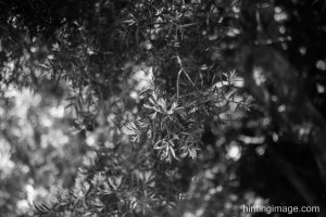 Tree Leaves, black and white photo