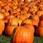 Hintons Fall Pumpkins