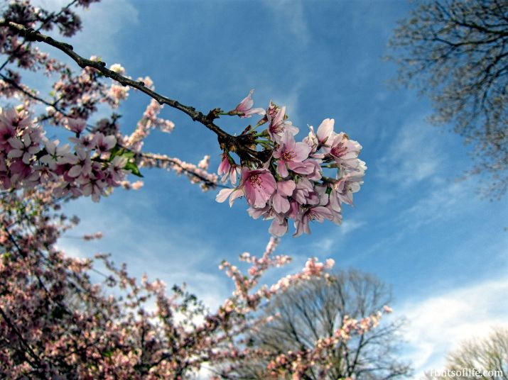 Cherry Blossoms at Central Park 2