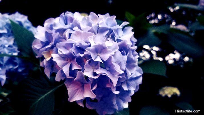 Summer_Flowers_Annabelle Hydrangea_Riverside Park