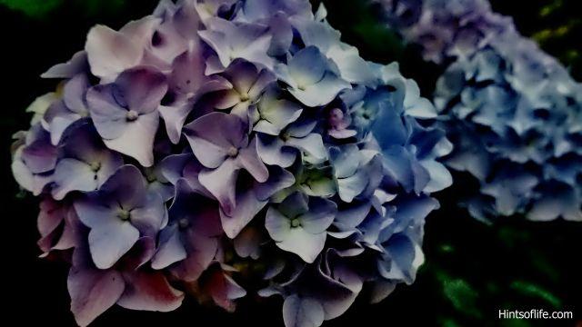 Summer_Flowers_Annabelle Hydrangea_Riverside Park...