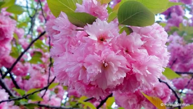 Saucer Magnolia_CentralPark_EastPark