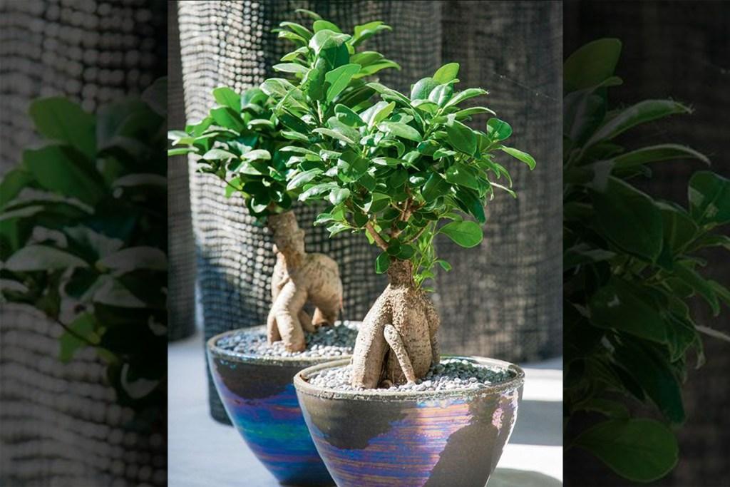 low maintenance houseplants - costa farm ficus bonsai