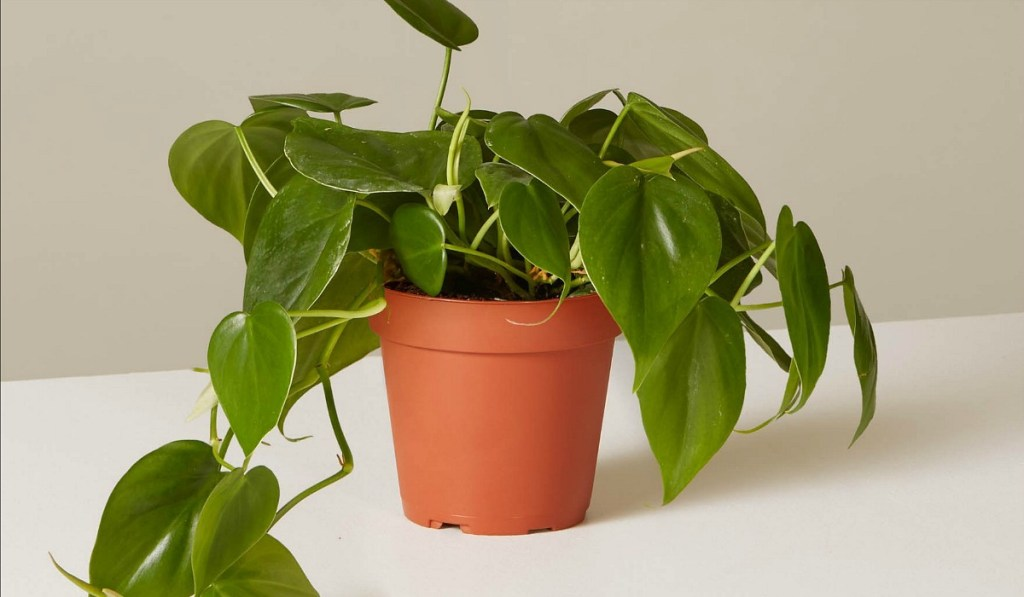 low maintenance houseplants — heart shaped philodendron from the sill