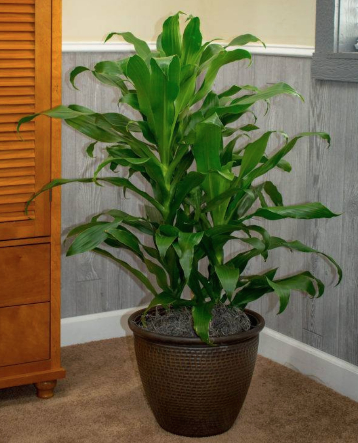 green Dracaena Michiko leaf plant sitting in corner of room