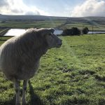 Sheep, moors and reservoir in background