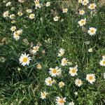 huge daisies