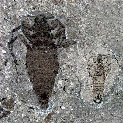 This undated handout photo provided by Nature shows a female, left, and male, right, fleas from the Middle Jurassic. In the Jurassic era, even the measly flea was a beast. It was a super-sized bloodsucker that feasted on dinosaurs with a saw-lie siphon.  (AP Photo/D. Huang, Nature)