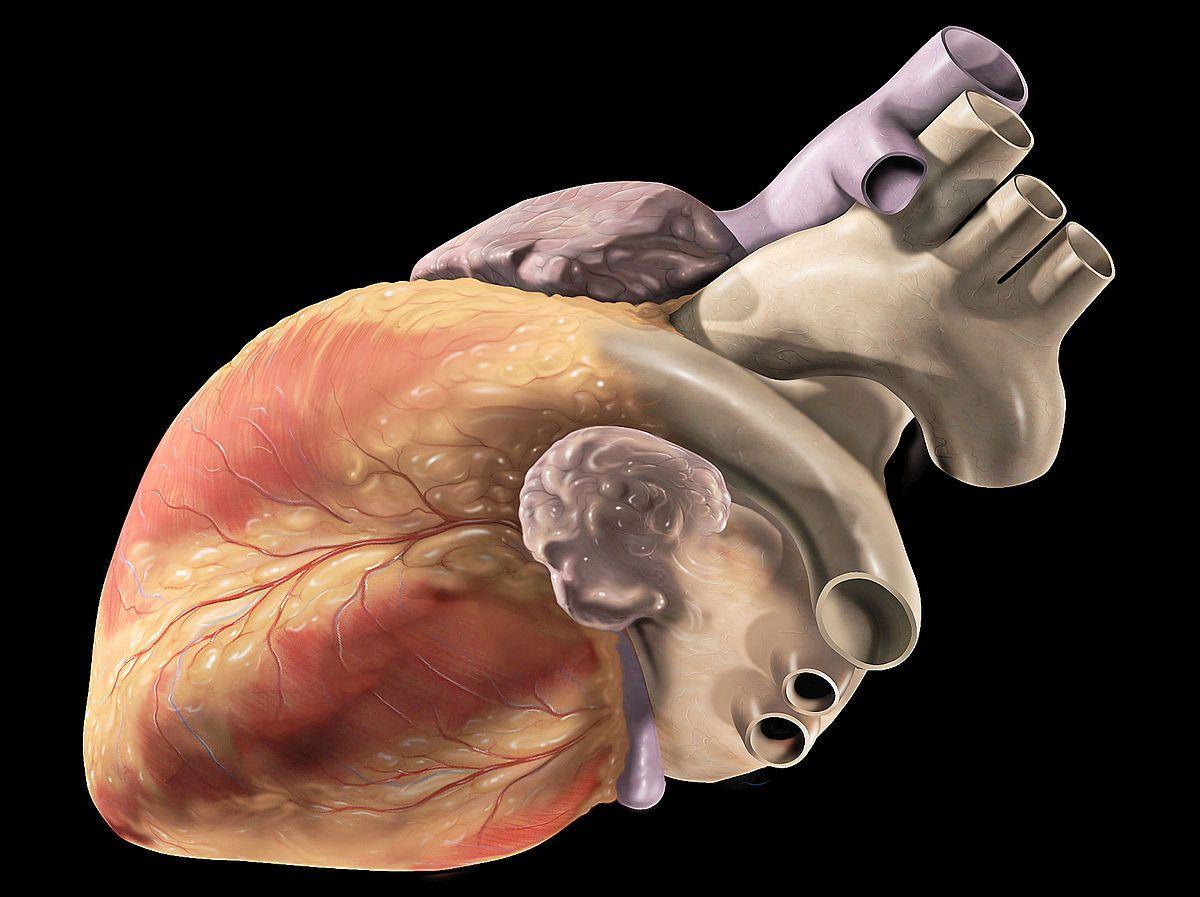 Corazón con células madre