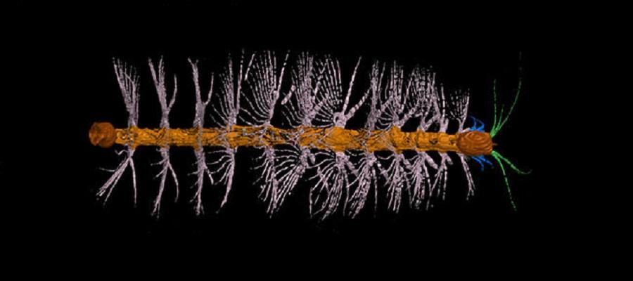 ancestro de artrópodos
