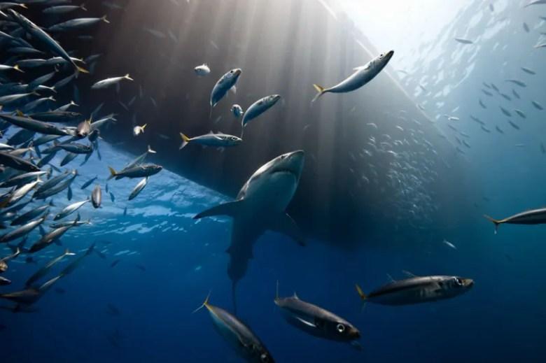Tiburón Blanco en la costa de la Isla de Guadalupe. Foto de Marc Henauer. National Geographic Photo Contest