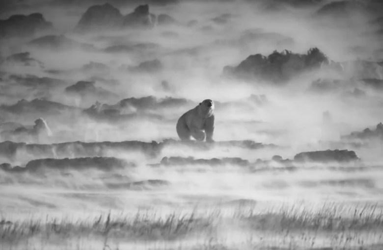 Oso polar en Canadá. Foto de Kiat Choon. National Geographic Photo Contest