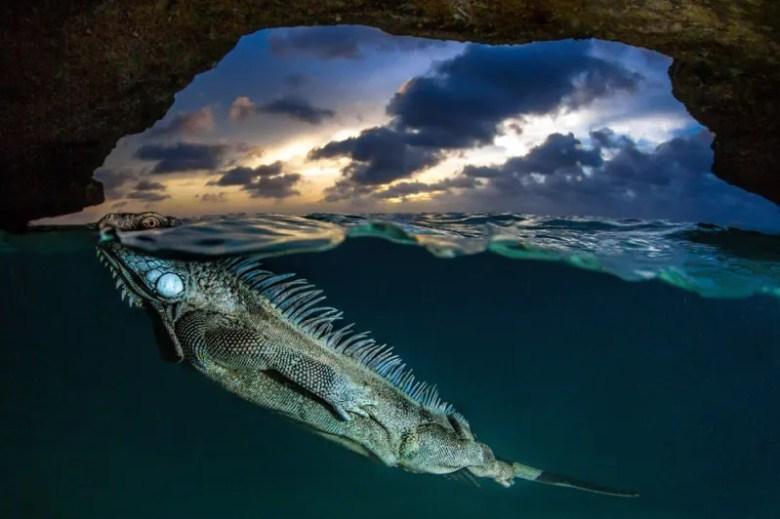 Encuentro con una Iguana verde. Foto de Lorenzo Mittiga. National Geographic Photo Contest