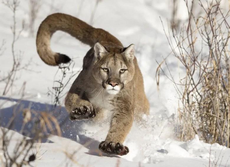 Puma. Foto de Serhat Demiroglu. National Geographic Photo Contest